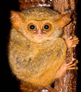http://www.endangeredspeciesinternational.org/tarsiersection2.html