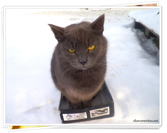 This gray cat was trying to keep its little paws warm inside a shoe box.